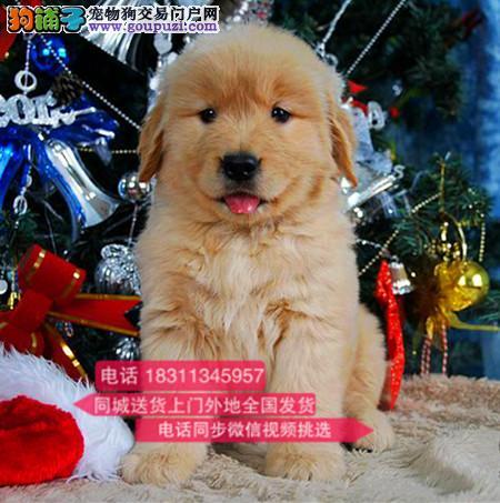 纯种金毛犬 犬舍专业繁殖 欢迎选购 加微信可看视频