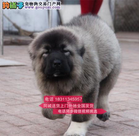 纯种高加索 专业繁殖高端宠物 纯种高加索幼犬待售