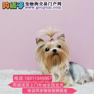 高端宠物犬 极品约克夏幼犬待售 纯种约克夏