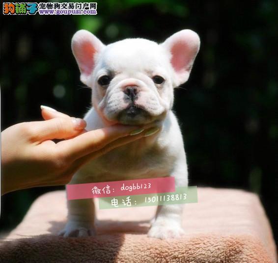 温馨法牛 孩子的伴侣 高端宠物犬专业犬舍