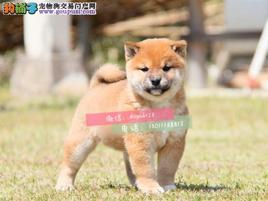 极品柴犬在这里优惠纯种和健康 CKU认证犬业