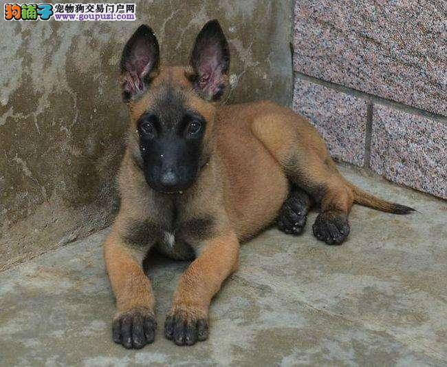 佛山哪里有卖马犬 佛山南海区哪里有卖纯种马犬小狗