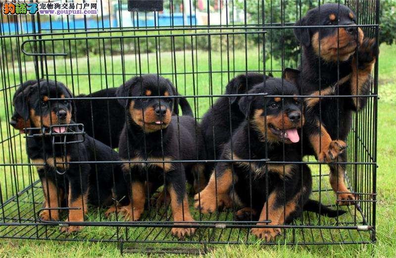 佛山哪里有卖罗威纳 佛山纯种一只罗威纳小狗多少钱