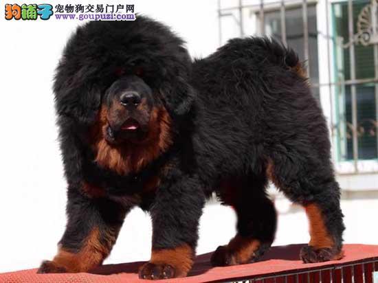 佛山哪里有卖藏獒 佛山纯种一只藏獒小狗多少钱