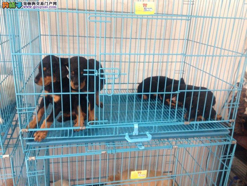 青浦区哪里有正规犬舍买杜高犬