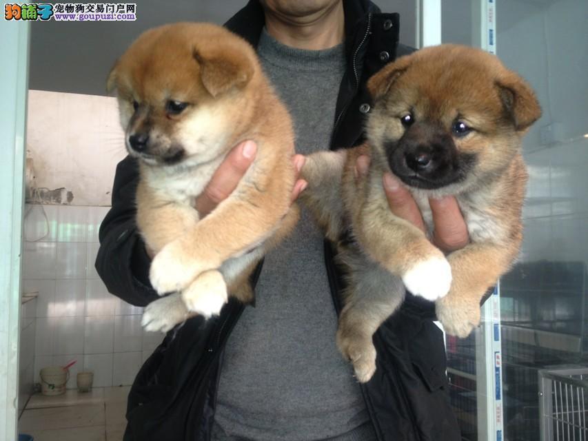 青浦区哪里有正规犬舍买柴犬