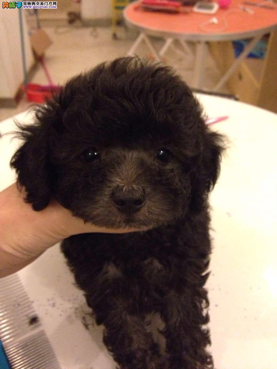 青浦区哪里有正规犬舍买泰迪犬