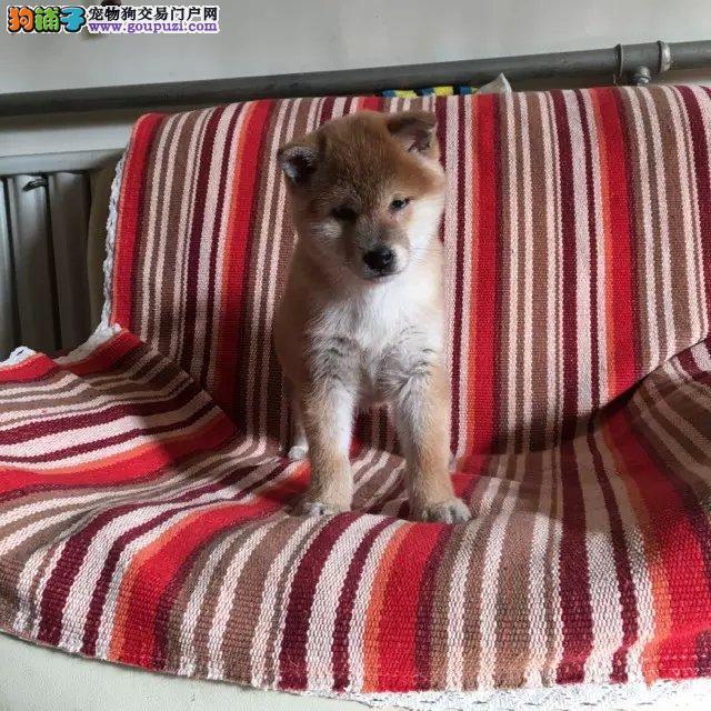 大连哪里有柴犬 大连日系柴犬怎么卖的 柴犬价格