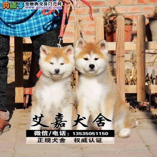 高品质秋田犬终身保障血统    CKU认证 血统纯正