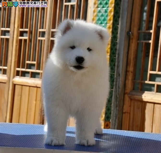 银狐犬 纯种银狐 CKU认证血统 保纯保健康 可签协议