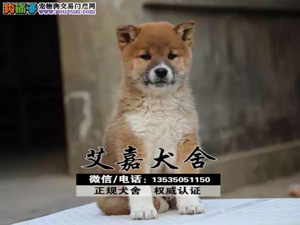 广东最大的柴犬基地 完美售后 质量三包 可送货上门