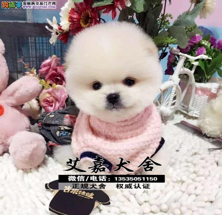 小俊介超小体 纯种哈多利博美犬出售 疫苗齐全