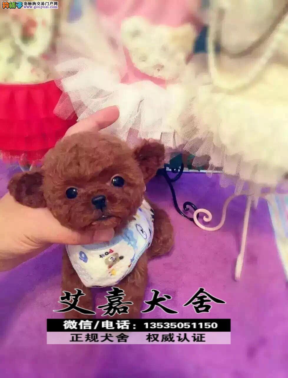 在广州市中心买泰迪熊小狗到哪里 可加微信视频狗狗