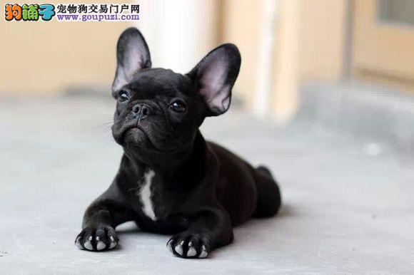 极品法牛幼犬,我们只注重品质,包活包健康多颜色可选