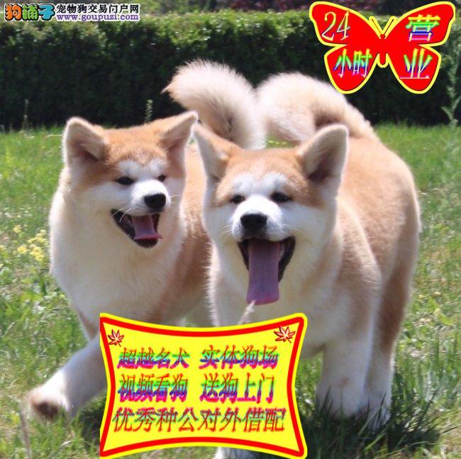 日系秋田犬,美系秋田犬,纯种幼犬出售