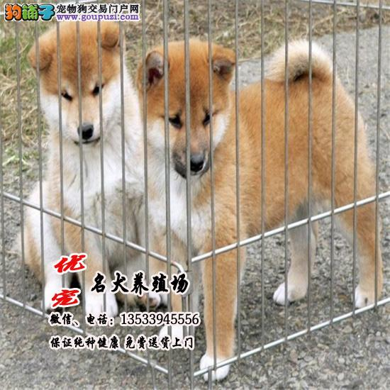 优宠柴犬养殖场 国外引进种犬 保纯种健康包养活