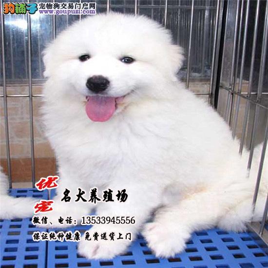 优宠名犬直销纯种大白熊幼犬、终身质保、包纯种健康