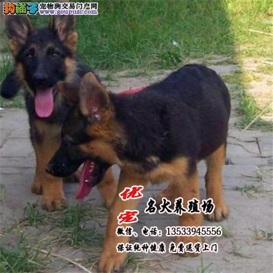 广东优宠养殖场 纯种德国狼狗幼犬 顶级血统 优质品种