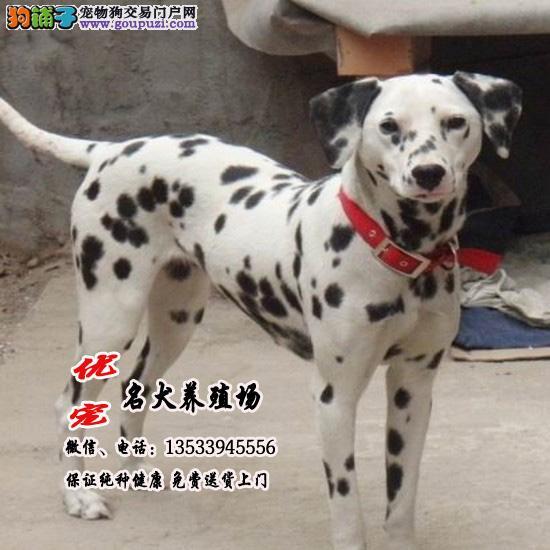 高端大气、斑点狗,纯种血统,大麦町犬, 优宠养殖场