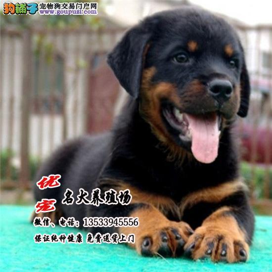 优宠名犬养殖场 纯种德系罗威纳犬幼犬 忠诚护卫犬