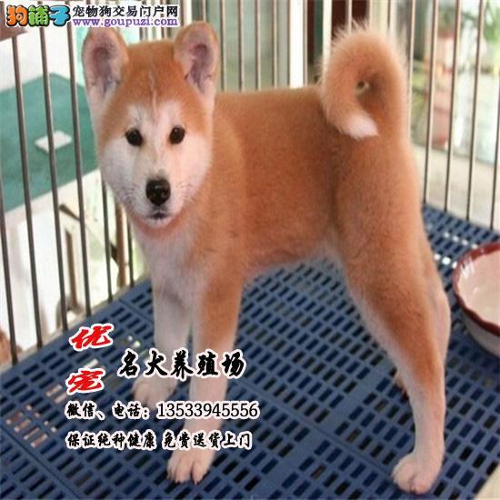 优宠名犬养殖场、高品质纯种日系秋田犬、可送货上门