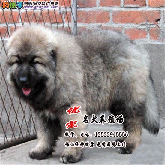 广东最大养狗基地 优宠名犬 纯种巨型高加索幼犬出售