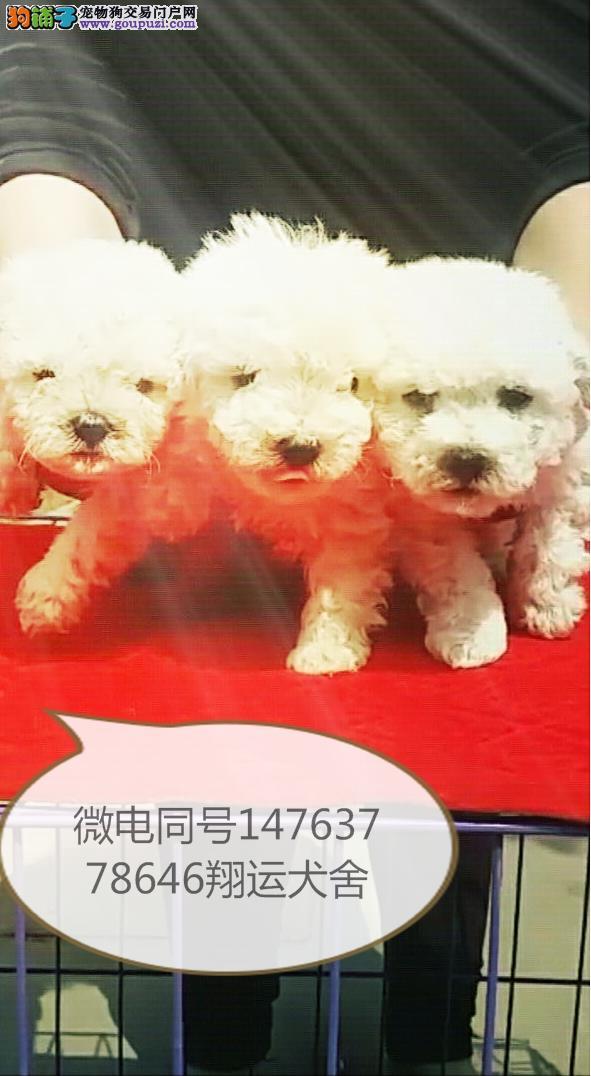 杭州泰迪幼犬价格泰迪宝宝多少钱一只