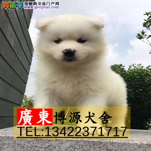 广州哪有卖萨摩耶 广州萨摩耶价钱是多少可送货