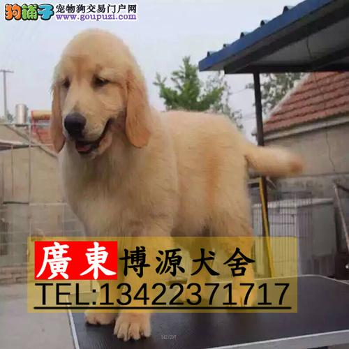 广州哪里有卖金毛犬 广州金毛犬价格多少 可送货上门