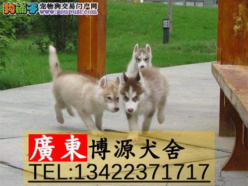 广州哪里有卖哈士奇 广州哈士奇价格多少 广州博源狗场