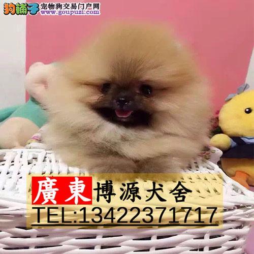 广州哪里有卖博美犬 广州博美价格是多少呢哪里能买到