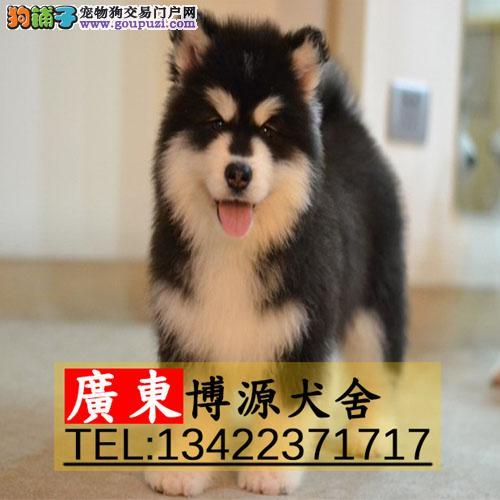 广州哪有出售阿拉斯加,广州在哪里买狗比较有保障