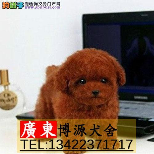 广州哪里有卖泰迪犬 广州纯种泰迪狗多少钱一只