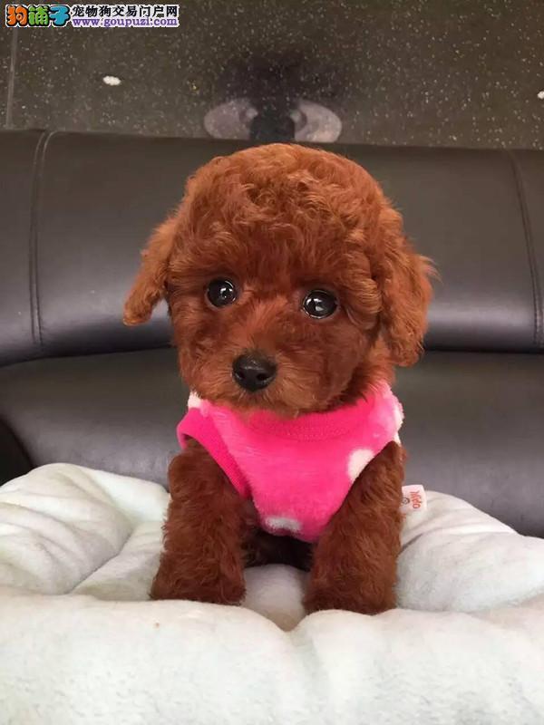 赛级韩系小体泰迪犬 完美体型可爱至极