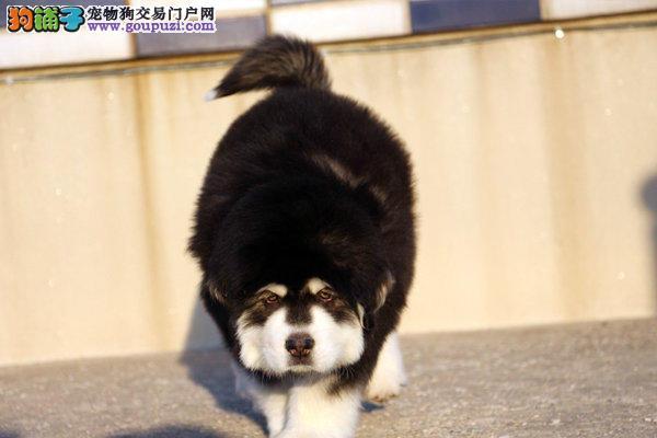 成都本地出售纯种阿拉斯加雪橇犬,标准体和巨型体都有