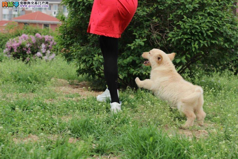 成都本地精品金毛幼犬 纯种赛级的金毛 骨架大毛量足