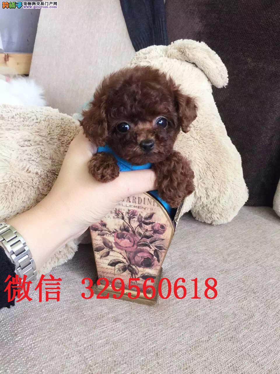 天津哪里卖泰迪犬 小体泰迪犬 红色泰迪 泰迪熊多少钱