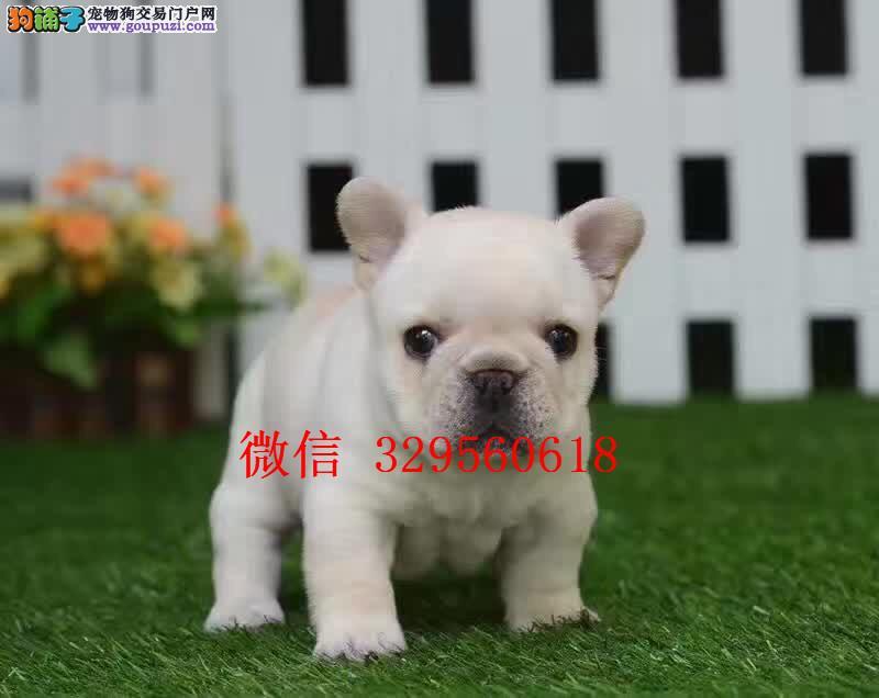 天津哪里卖法斗犬 纯种法斗多少钱 奶油色法斗幼犬
