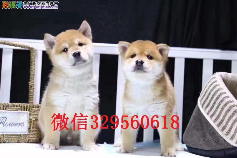 天津柴犬多少钱 哪里有卖柴犬 纯种柴犬多少钱一只