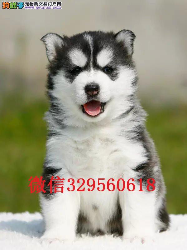 天津有卖哈士奇的吗 蓝眼哈士奇幼犬出售 哈士奇多少钱