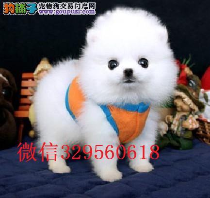 天津哪里卖博美犬 哈多利球体博美 白色茶杯博美