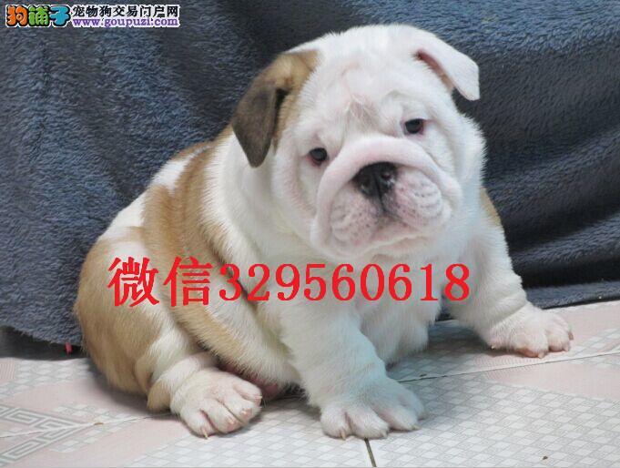 天津英国斗牛犬出售 赛级英斗幼犬出售 纯种英斗多少