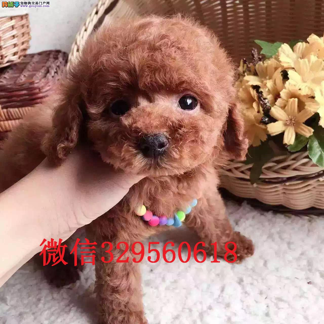 天津哪里卖贵宾犬 玩具贵宾 红色贵宾 赛级贵宾犬