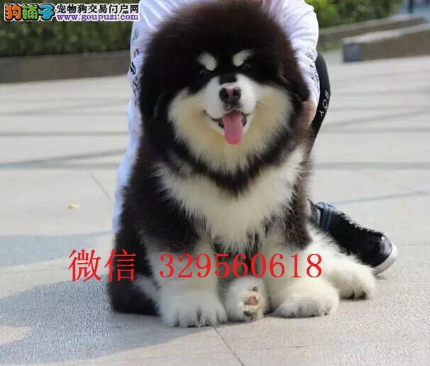 天津黑色阿拉斯加出售 黑色熊版巨型阿拉斯加多少钱