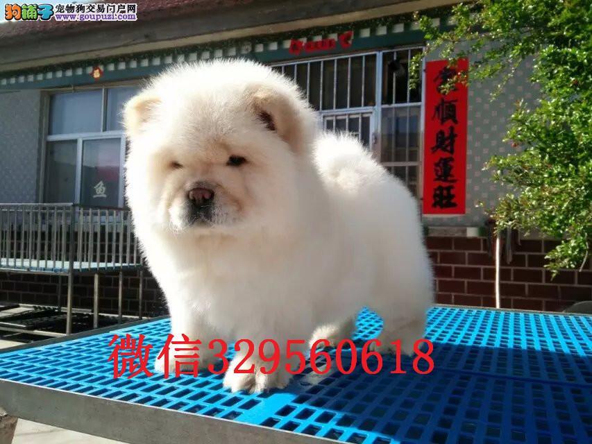 天津出售纯种松狮 松狮多少钱 面包嘴松狮幼犬出售