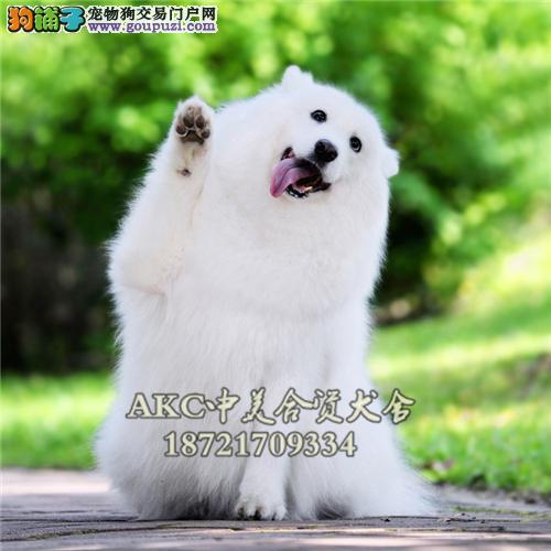 安徽最大犬舍萨摩耶精品公母均有全国发货
