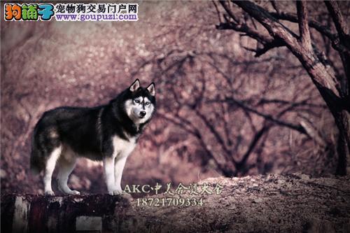 安徽正规犬舍阿拉斯加赛级三个月全国发货
