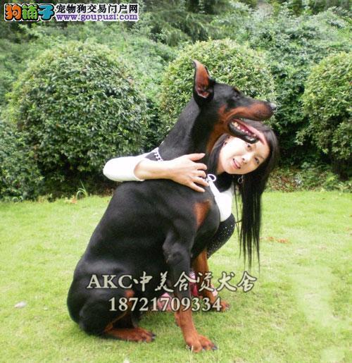 安徽杜宾好养听话小犬幼犬待售全国发货