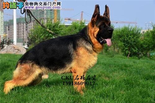 上海德牧幼犬待售驱虫已做全国发货