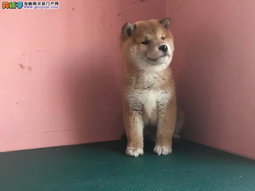 银川日系柴犬怎么卖的 银川柴犬多少钱 柴犬价格